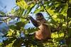 PARQUE TORTUGUERO - COSTA RICA - MONO EXPLORED (photojordi®) Tags: colorado provinciadelimón costarica cr photojordi fauna flora wild salvaje