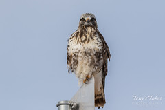 Watchful Rough Legged Hawk