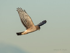 ND5_8747 Harrier Hunting (Wayne Duke 76) Tags: hawk raptor hunting flying birds
