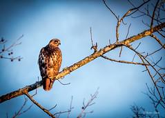 DSC_5664 (dixiedog) Tags: wildlife birds mississippi