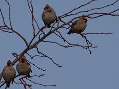 Waxwings (Kniphofia) Tags: waxwings birds winter tree