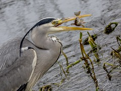 Grey Heron ( Got Ya!! ) (johnatkins2008) Tags: greyheron feeding waterside riverside lakeside nenepark ferrymeadows johnatkins2008 wildlifephotography birdphotography
