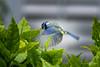 Mésange bleu en vol. (Bouhsina Photography) Tags: oiseau nature verdure bleu mésange nancy lorraine 2016 bouhsina bouhsinaphotography canon 5diii ef70200 en vol arbre feuille bokeh profondeur champs brilliant