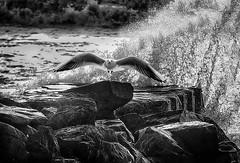 On the rocks (bainebiker) Tags: seagull rocks waves sea monochrome surge bird borth ceredigion walesuk