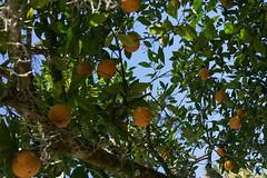 Florida oranges (vhines200) Tags: crosscreek florida 2016 orange tree