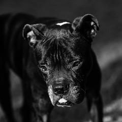 Spirit14Jan1700060-Edit.jpg (fredstrobel) Tags: dogs pawsatanta phototype atlanta blackandwhite usa animals ga pets places pawsdogs decatur georgia unitedstates us