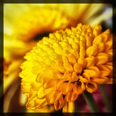 Tiny little yellow. (Kindle Girl) Tags: iphone iphonemacro iphone365 macro olloclip olloclipmacro flower yellow takoma dc dclife washingtondc
