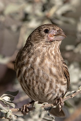 Day Of Deliverance (gilamonster8) Tags: bird beak deformed desert finch tucson arizona