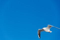 DSC_6829.jpg (kTomoyuki) Tags: 鷗 鴎 seagull カモメ かもめ 島原市 長崎県 日本 jp