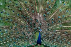 Peacock (Koshyk) Tags: peacock indianpeacock male display dhanauri dhanaurikalanuttarprdesh nikon nikond500 birdwatcher