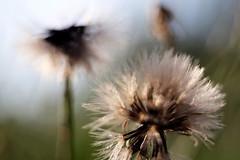 Soft (Sheykelman) Tags: green dandelion taraxacum blowball macro closeup