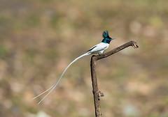 flycatcher asianparadiseflycatcher indianparadiseflycatcher sattal uttarakhand