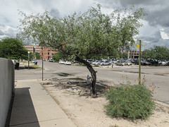 I *think* what I was seeing this day in Tucson was: a honey mesquite (the tree) and a velvet mesquite (the shrub). (Tim Kiser) Tags: 2015 20151007 7thstreet 7thandpark arizona arizonalandscape east7thstreet eastseventhstreet img7829 northparkavenue october october2015 parkavenue pieallen pieallenhistoricdistrict pieallenneighborhood pimacounty pimacountyarizona prosopis prosopisglandulosa prosopisvelutina seventhstreet seventhandpark tucson tucsonarizona tucsonlandscape tucsonstreetscape concretewall gravel honeymesquite honeymesquitetree landscape mesquite mesquitebeans mesquiteshrub mesquitetree mostlycloudy ornamentalmesquite ornamentaltree paved pavement sidewalk southarizona southeastarizona southeasternarizona southernarizona streettree streetscape urbanlandscape velvetmesquite velvetmesquiteshrub view wall unitedstates
