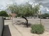 I *think* what I was seeing this day in Tucson was: a honey mesquite (the tree) and a velvet mesquite (the shrub). (Tim Kiser) Tags: 2015 20151007 7thstreet 7thandpark arizona arizonalandscape east7thstreet eastseventhstreet img7829 northparkavenue october october2015 parkavenue pieallen pieallenhistoricdistrict pieallenneighborhood pimacounty pimacountyarizona prosopis prosopisglandulosa prosopisvelutina seventhstreet seventhandpark tucson tucsonarizona tucsonlandscape tucsonstreetscape concretewall gravel honeymesquite honeymesquitetree landscape mesquite mesquitebeans mesquiteshrub mesquitetree mostlycloudy ornamentalmesquite ornamentaltree paved pavement sidewalk southarizona southeastarizona southeasternarizona southernarizona streettree streetscape urbanlandscape velvetmesquite velvetmesquiteshrub view wall unitedstates