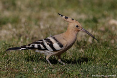 Poupa, Hoopoe (Upupa epops) (valadares.vasco) Tags: poupa hoopoe upupaepops bird birds animal animals wildlife nature feather feathers