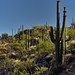 A Forest of Saguaro Cactus