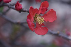 Quince blossoms (Pejasar) Tags: quince bloom blossoms flowers spring tulsa oklahoma nature life garden