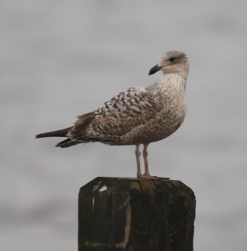 1st summer great black backed gull