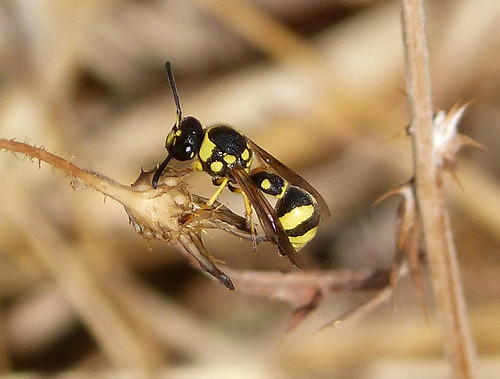 eumenes species male
