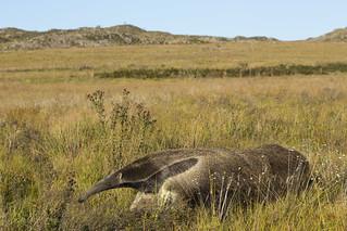 Giant anteater (Tamanduá-bandeira)