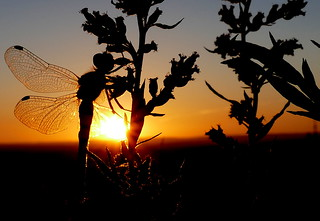 dragonfly in the sunset (Sweden)