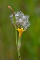 Para ti (esta_ahi) Tags: barcelona espaa flores yellow spain flora plantas flor asteraceae peneds semillas compositae silvestres olrdola  vilanos