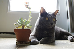 (heather dawn ) Tags: plant animal cat tali succulents topsyturvy houseplants echeveria runyonii