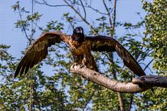 Bartgeier (stegi_at) Tags: zoo austria tirol sterreich tiergarten innsbruck alpenzoo greifvogel bartgeier