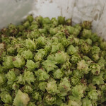 Hops in the Bucket thumbnail