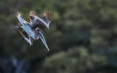 Diving Pelican - Galapagos-20140714-1637-BK2W3632-Edit (Swaranjeet) Tags: pelican pelicans galapagos ecuador bird largebirds july2014 canon fullframe 1dx eos1dx dslr sjs swaran swaranjeet swaranjeetsingh sjsvision sjsphotography swaranjeetphotography 2014 eos canoneos1dx 35mm ef pro 200400 canonef200400mm canonef200400mmf4lisusm14x singh photographer thane mumbai india indian