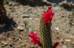 Araña sobre flor de cactus (amerida59) Tags: cactus flordecactus arañasaltadora