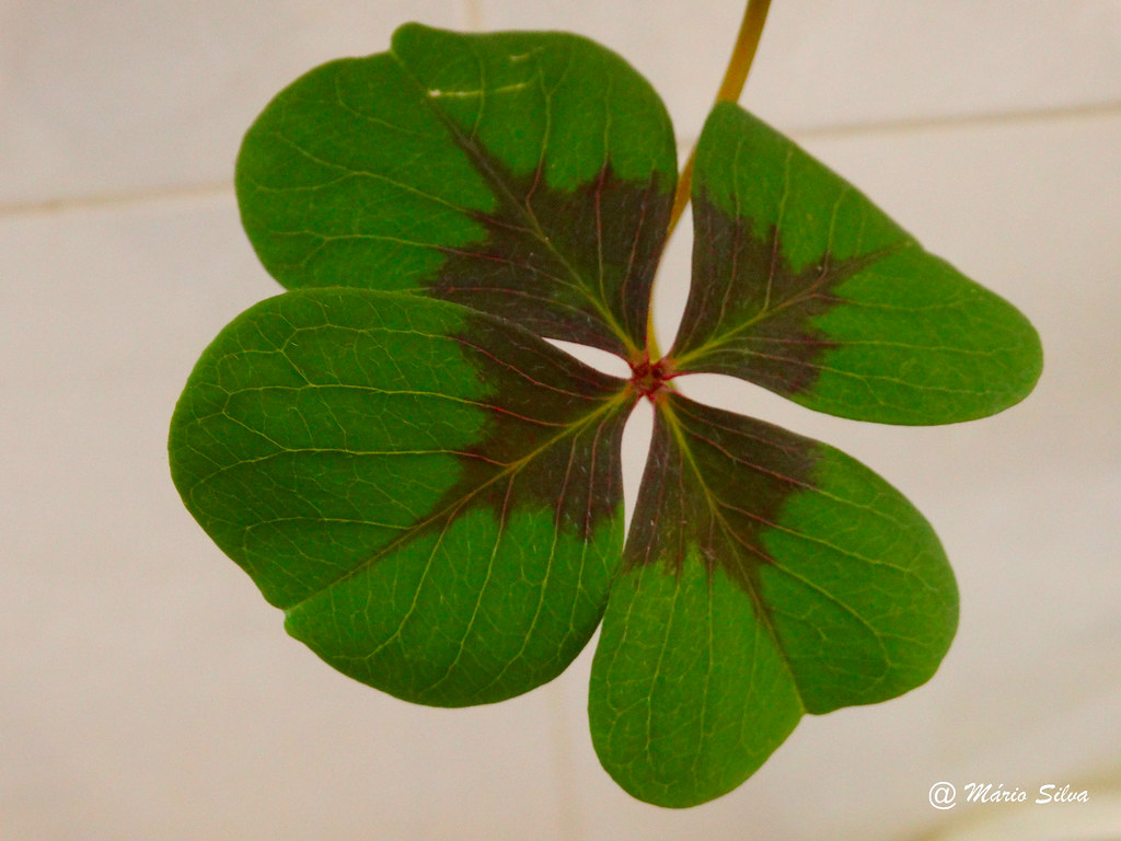 Águas Frias (Chaves) - ... trevo de 4 folhas ... desejo de boa sorte ...