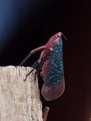 DSC_1426 (akkythegunner) Tags: macro green nature photography snake wildlife insects frogs viper herp herps matheran naturephotography macrophotography catsnake greenvinesnake bamboopitviper