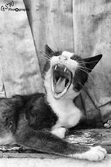 My, what big teeth you have (Gavmonster) Tags: blackandwhite bw white black monochrome animal tongue cat fur paw eyes nikon feline wildlife teeth pussy yawn ears whiskers greece stray oldtown greyscale nafplio peloponnese feliscatus d7000 nikond7000 gswphotography