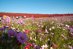 20151025-DS7_6692.jpg (d3_plus) Tags: park street sky plant flower nature japan nikon scenery angle hill wideangle jr daily flowerbed bloom  amusementpark streetphoto    dailyphoto  ibaraki  thesedays flowergarden     superwide     a05   tamronspaf1735mmf284dildasphericalif kochia tamronspaf1735mmf284dildaspherical d700  nikond700 tamronspaf1735mmf284dild tamronspaf1735mmf284