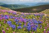 The Red mountain (pikosha2) Tags: russia flowers landscape mountains altai nature saariysqualitypictures