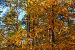 Needles In Vermillion (stephenb19) Tags: uk autumn trees orange black yellow river gold scotland hall highlands october britain perthshire scottish sunny rapids foliage hermitage dunkeld linn larch ossian 2015 ossians