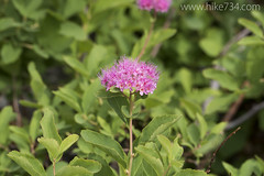 "Subalpine Spiraea • <a style=""font-size:0.8em;"" href=""http://www.flickr.com/photos/63501323@N07/22548211307/"" target=""_blank"">View on Flickr</a>"