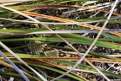 Rattlesnake in the Grass (isaac.borrego) Tags: wildlife snake grass rinconcreektrail rinconmountains saguaro nationalpark tucson arizona canonrebelt4i desert skyislands unitedstates america usa animals nationalparks nationalparksystem nps findyourpark