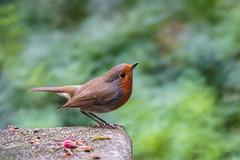 DSC01450_edited (François wry) Tags: rougegorge rochecorbon apprivoisé contraste couleur amour mouvement décollage samyang jardin garden bird pierre plume bec banc bench