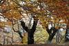 La magia y el silencio  del bosque / The magic and silence of the forest (Lumiago) Tags: españa spain bosque burgos dorado castillayleón esenciadelanaturaleza riocavadodelasierra