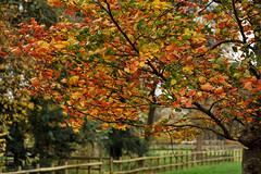 gejaagd door de wind (Don Pedro de Carrion de los Condes !) Tags: wind herbst herfst boom herfstkleuren hek donpedro kleuren herfstblad herfstig d700