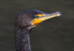 Double Breasted Cormorant (ashockenberry) Tags: