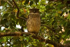 Brown_Fish_Owl_8168.jpg (hoothollowma) Tags: india asia nocturnal roosting birdofprey threatenedspecies madhyapradesh egglaying bandhavgarhnationalpark typicalowl perchedintree tropicalsubtropical