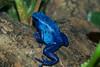 Poison Arrow Frog (WaterBugsPics) Tags: poisonarrowfrog frog blue amphibian brown green challengeyouwinner cyunanimous cy2 15challengeswinner