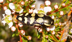 Christmas Jewels,buprestidae,so many of these are not listed in the book I have ,there are more than 350 species,many still unnamed. (ron_n_beths pics) Tags: westernaustralia buprestidae perthbushlands