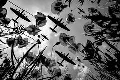 POP0012 (Smart Aviation Art) Tags: poppy poppies poppyfield poppyfields lancaster vulcan avro spitfire hurricane aircraft military bbmf