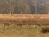 Reeën in de winter +video (capreolus) Tags: reeën roedeer capreolus winter holland