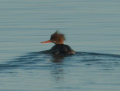 Red-breasted Merganser (f) (plsmart) Tags: dncb 201701 fraserriver redbreasted merganser ducks brunswickpoint delta bc female