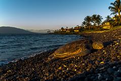 Polo Beach Honu (r1aviator) Tags: polobeach sunset honu seaturtle wailea maui hi